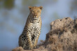 canvas print picture Leopard male sitting on a termite hill in a Game Reserve in the Greater Kruger Region in South Africa