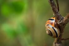 Orange-brown Snail Perched On Underside Of Plant Stem