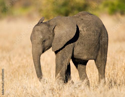 Canvas Print Afrikaanse Olifant, African Elephant, Loxodonta africana