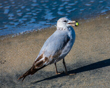 Closeup Of A Seagull With Food On Its Beak On The Seashore