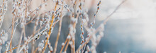 Spring Branches Of Pussy Willow On Colorful Blurred Background. Beautiful Panoramic Scenery