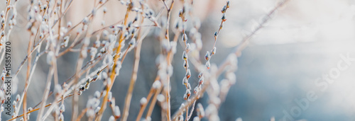 Fotografie, Obraz Spring branches of pussy willow on colorful blurred background