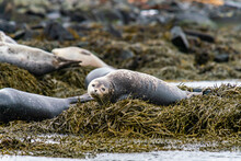 Seals, Sea Lions Sunbathing In Ytri Tunga Beach In Snaefellsnes Peninsula In West Iceland