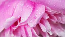Raindrops On Pink Rose Petals Close Up