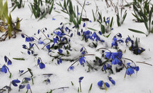 Beautiful First Spring Flowers Of Sky Blue Scilla Siberica, Siberian Squill Covered With Snow In The Garden Or Lawn.