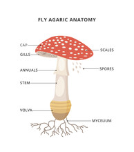 Amanita Muscaria Anatomy. Structure Mushroom Fly Agaric With Caption Of Parts. Bright Toxic Fungus With Red Spotted Cap.