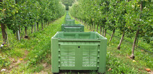 Panorama Of An Apple Garden With Large Empty Green Plastic Boxes Lined Up In A Row.