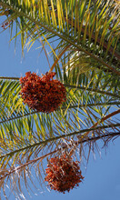 Part Of A Palm Tree With Seed Pods Dangling Under Bright Blue California Winter Sky