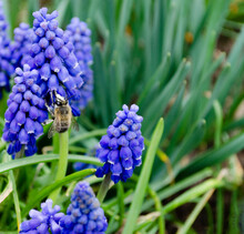 Muscari Blooming, Spring, Bumblebee. Honey Production. The Bee Collects Pollen In The Spring. Bee On Blue Hyacinth Flowers.Blurred Background.