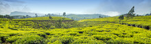 Tea Field Plantations, Sri Lanka