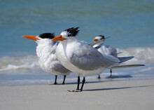 Royal Terns (Thalasseus Maximus) Resting  And Preening On A Gulf Coast Beach At St. Pete Beach, Florida.