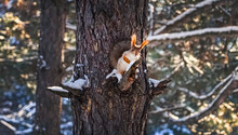 Cute Squirrel On Pine Tree In Winter Forest