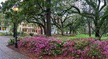 Colorful Spring Azalea In Bloom At Historic Savannah Forsyth Park - Georgia