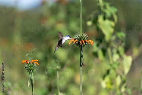 Fototapeta premium El colibrí está junto a la flor tomando su polen.