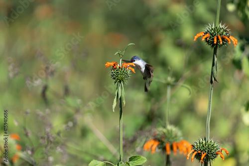 Fototapeta premium El colibrí está tomando el polen de la flor .