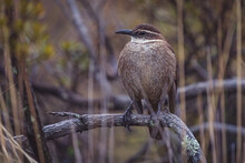 Closeup Shot Of Chalk Browed Mockingbird Perched On A Tree Branch