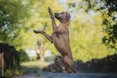 Obraz na plátne Rhodesian ridgeback dog sitting on his two hind legs, doing a trick and training with the owner, in the city park