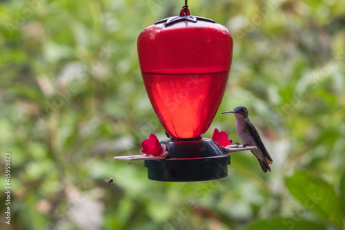 Fototapeta premium Closeup shot of a hummingbird drinking water on a bird feeder
