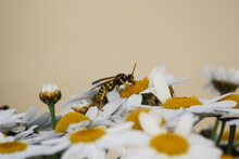 Macro Portrait Of The Side Profile Of A Wasp On A Bunch Of Daisies. Wasp Eating Yellow Pollen From A Daisy With White Petals.