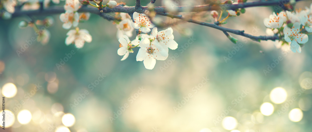 Fototapeta Spring blossom background. Beautiful nature scene with blooming tree and sun flare. Sunny day. Spring flowers. Beautiful Orchard. Abstract blurred background. Cherry or sakura blossoms. Springtime.