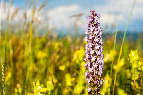 Fototapeta Storczyk kwitnący na Bieszczadzkiej łace obraz
