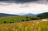 Storczyk kwitnący na Bieszczadzkiej łące, widok na połoniny, Bieszczady, Karpaty