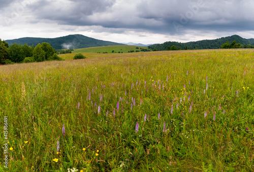 Fototapeta Storczyk kwitnący na Bieszczadzkiej łące, widok na połoniny, Bieszczady, Karpaty obraz
