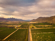 Aerial View Of Road Through Citrus Farm In Cedarkloof, Western Cape, South Africa.