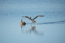 Pelicans Floating On Water, California