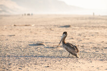 Brown Pelican On The Beach. Guadalupe-Nipomo Dunes National Wildlife Reserve, California Central Coast