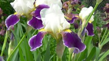 White Irises With Purple Petals,in The Garden Irises Bloom Two Colors White With Purple Petals