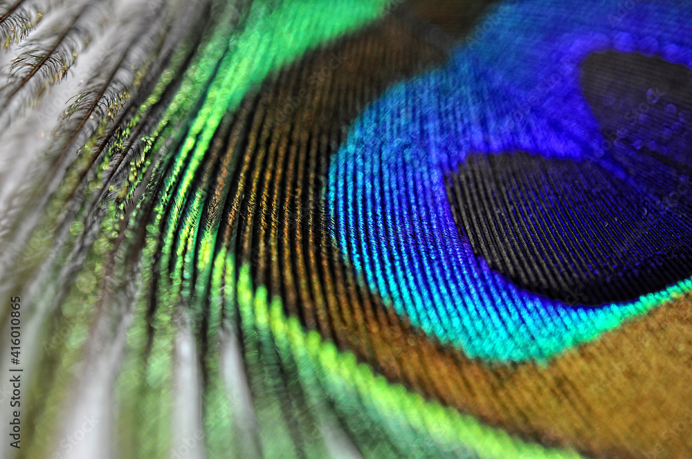 peacock feather side view closeup, macro. Abstract background. Selective focus