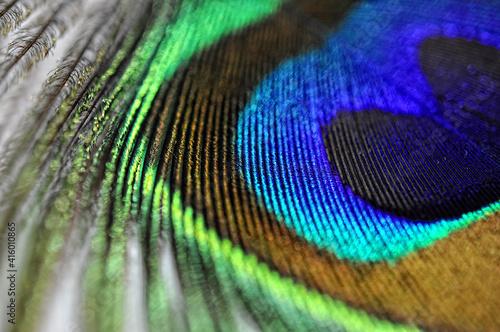 Stampa su Tela peacock feather side view closeup, macro