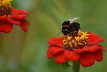Bee Pollinates Flower In Garden