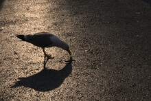 A Single Seagull And Its Shadow