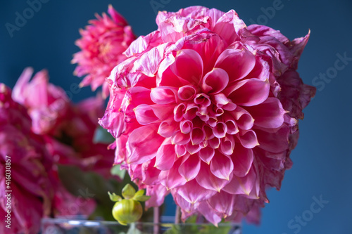 Fotografering Close-up of a beautifully wilting pink dahlia against a blurry background of other dahlias and a contrasting blue wall