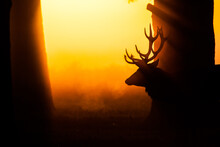 Silhouette Of Red Deer In The Early Morning Mist
