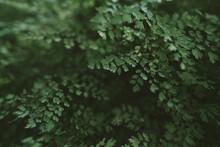 Common Maidenhair Spleenwort In Queen Sirikit Botanical Garden In Chaing Mai