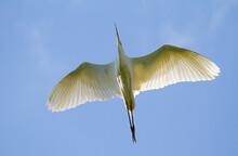 Great Egret, Ardea Alba. Bird In Flight, Shot Against A Blue Sky