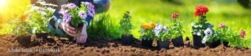Fotografia Woman hands putting seedling flowers into the black soil