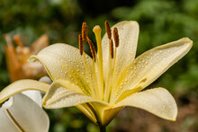 Yellow Lily With Dew Drops