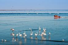 Greater Flamingos (Phoenicopterus Ruber Roseus), Walvis Bay, Erongo Region, Namibia, Africa