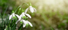 White Fresh Snowdrops Flower ( Galanthus ) On Green Meadow In Sunny Garden . Easter Spring Background Banner Panorama