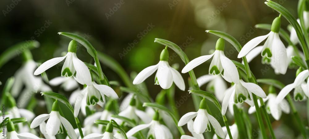 Fototapeta White fresh snowdrops flower ( Galanthus ) on green meadow in sunny garden . Easter spring background banner panorama