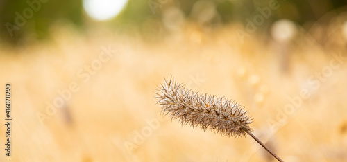 Obraz na plátně macro close up of wild grass seed in rural countryside