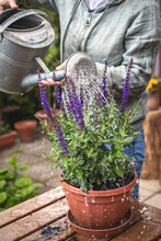 Potting Salvia Nemorosa In Flower Pot. Flowering Sage Herb. Watering Can In Female Hand. Gardening At Springtime
