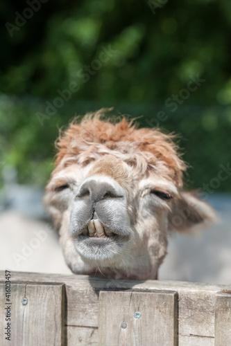Fototapeta premium closeup head shot of a sleepy alpaca with its head on a paddock fence