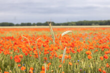 Extensive Field Of Red Poppies, Cereals Grow And Bloom In The Middle