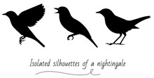 Three Vector Isolated Silhouettes Of A Standing, Flying, And Singing Nightingale
