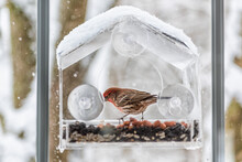 One Male Red House Finch Bird Inside Perched On Plastic Glass Window Feeder During Heavy Winter Snow Colorful In Virginia Snow Flakes Falling